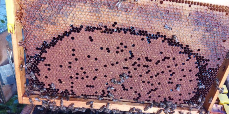 Krmljenje čebeljih družin v brezpašnem obdobju